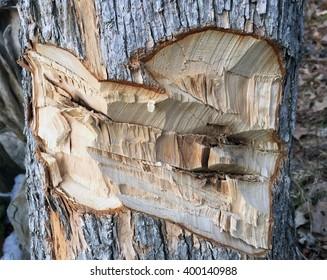 Beaver damage to a tree