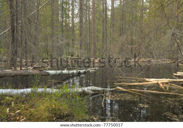 Beaver damming in forest, wide angle photo