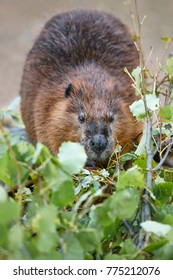 Beaver eating in the forest. Nature wildlife background. Vertical