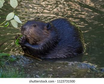 Beaver eatting grass on the