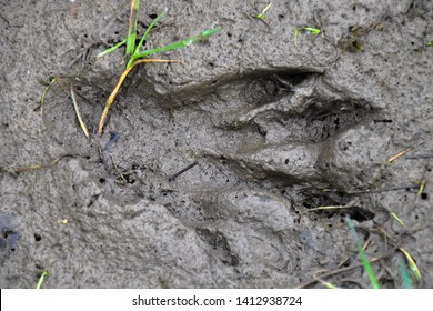 Beaver footprint in the mud. The Eurasian beaver or European beaver (Castor fiber) is a species of beaver which was once widespread in Eurasia.
