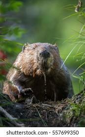 Beaver in Hinton, Alberta.