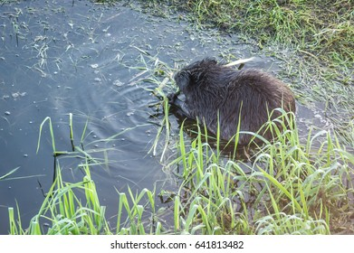 Beaver isolated on the blue-water background