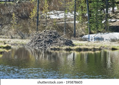A beaver lodge in a beaver pond in the spring in the Rocky Mountain High Country.