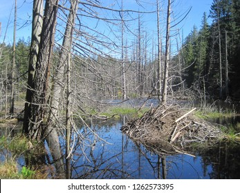 A beaver lodge in swampy wetlands in the Canadian woods in late spring. Dead standing trees are abundant in the flooded areas caused by the beaver dam. BC's forests offer plenty of building material.