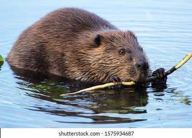 Beaver munching on some bark at dusk