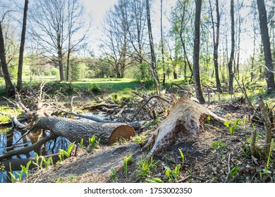 a beaver nibbles trees for a dam