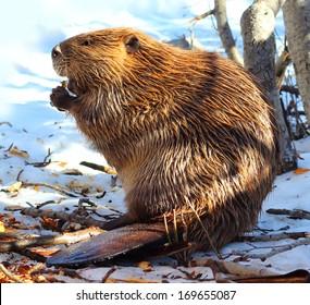 Beaver (North American)