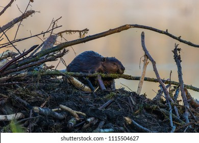 Beaver on dam in morning light.