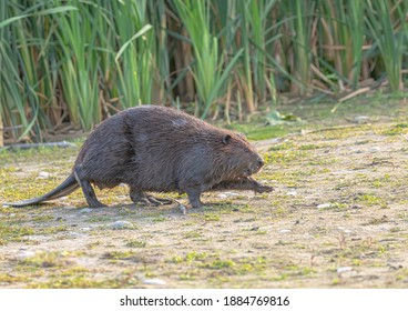 A beaver with one leg raised if to take a step