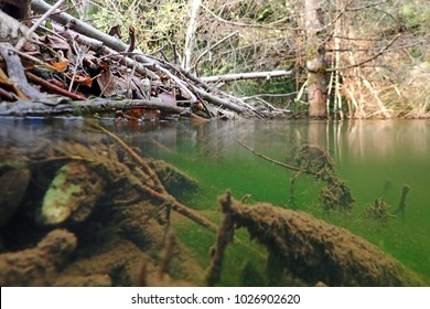 A beaver plantation in a pond half underwater and half above water. Underwater photo of a beaver building