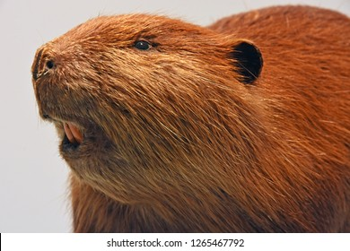 Beaver portrait up close