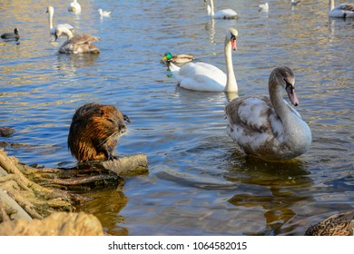river rat images, stock photos & vectors | shutterstock
