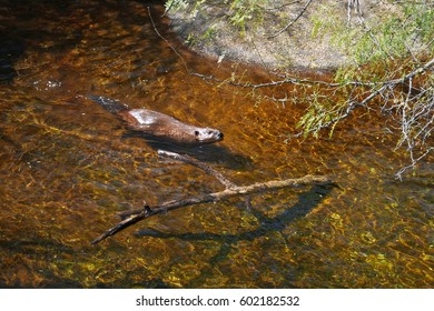 Beaver seen from above swimming towards a big branch