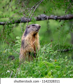 A beaver stands upright around the vegetation.