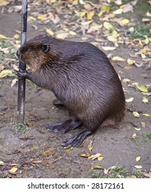Beaver, summer, ontario, canada