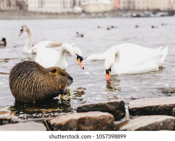 Beaver and swans on the river