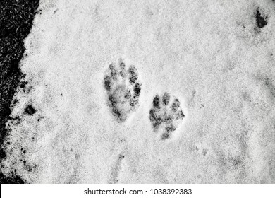 What does a beaver footprint look like