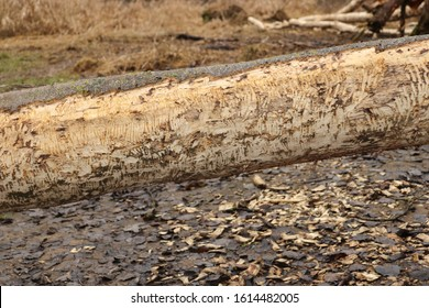 Beaver tree. Trunk felled and twinged by European beaver (Castor fiber) close to the water. Evidence of beaver's activity. Tree damaged by protected animal. Clearly visible tracks after beaver's teeth