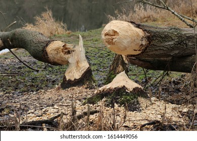 Beaver tree. Tree trunks twinged and felled by European beaver (Castor fiber) close to the water. Evidence of beaver's activity. Trees damaged by protected animal. Autumn or winter period.