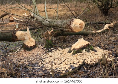 Beaver trees. Tree trunks twinged and felled by European beaver (Castor fiber) close to the water. Evidence of beaver's activity. Trees damaged by protected animal. Autumn or winter period.