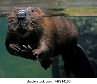 Beaver at the water line in a glass pool with its front paw held out as if waving