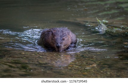 Beaver at waterside Netherlands