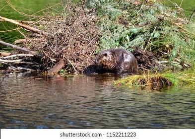 Beaver working on beaver lodge