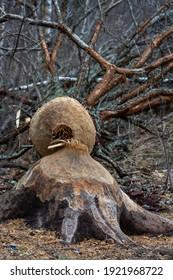 Beaver-bitten tree trunks near forest lake