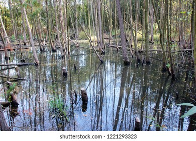 Beavers cut down trees to build their dam and create a wetland where they live.