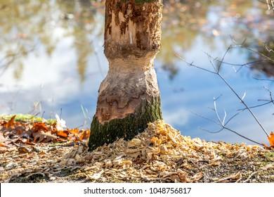 Beavers and cut tree