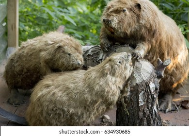 Beavers in green forest with tree