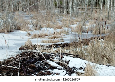 Beavers live under ice in winter, beaver dam. Beavers have built dam, raised water level in river, after ice formation drain off water and under ice formed air space for breathing (white ice on video)