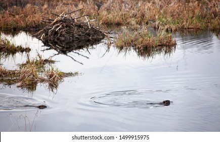 Beavers in water, building onto their lodge, gnawing on wood.
