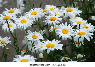 Becky Shasta Daisy flowers