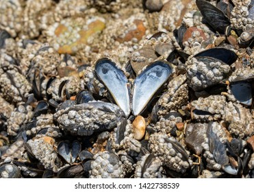 A bed of blue mussels (Mytilus edulis) covered in barnacles in an intertidal zone. A single shell stands open and attached to the rocks creating a pearlescent heart or butterfly shaped pattern.