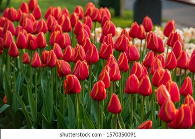Bed of bright red tulips