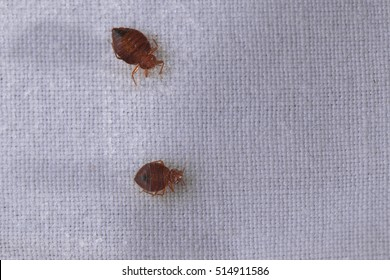 Bed bug Cimex lectularius