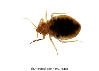 Bed bug Cimex lectularius isolated on white.