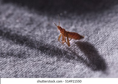 Bed bug Cimex lectularius  at night in the moonlight