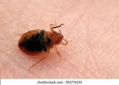 Bed bug Cimex lectularius on human skin.
