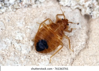 Bed bug Cimex lectularius parasitic insects of the cimicid family feeds on human blood