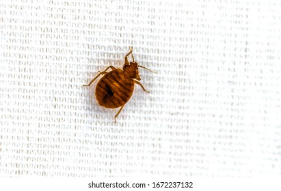 Bed Bug Crawling On Bed Extreme  Up Close