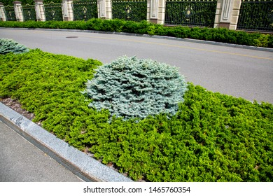 A bed with evergreen pine and thuja plants along the asphalt road fenced in on a sunny summer day.