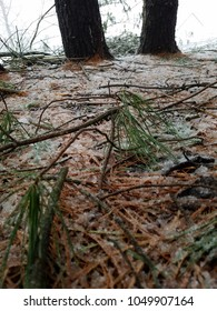 bed of frosty pine needles in winter
