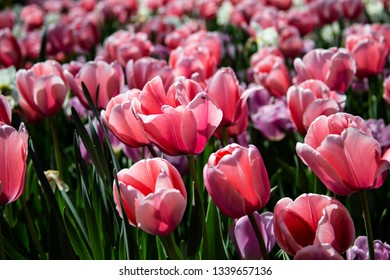 Bed of gorgeous Spring pink tulips in full bloom under an afternoon sun