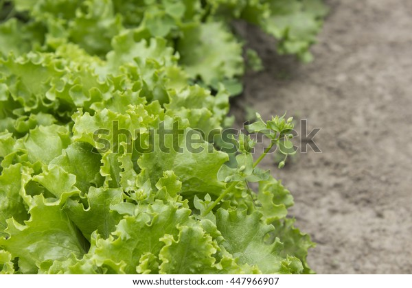 Bed of lettuce