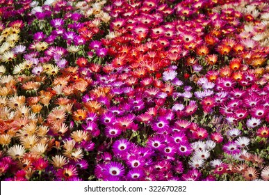 A bed of Livingstone Daisies in Toowoomba Carnival of Flowers, Queensland, Australia.