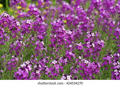 A bed of purple coloured wallflowers