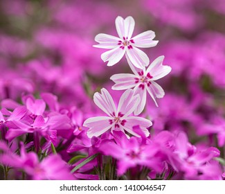 A bed of purple flowers featuring three pink flowers on the forgroung